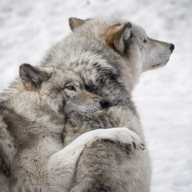 Mądrość wilków.